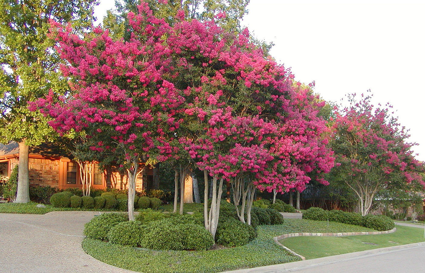 Crape Myrtles History Selection Care And Maintenance