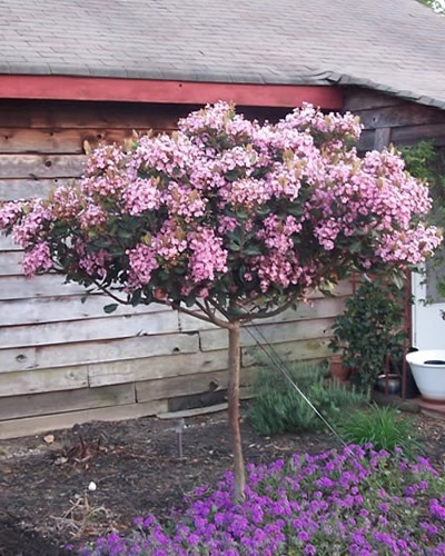 Jason S Plant Pick Of The Week Indian Hawthorn Covingtons