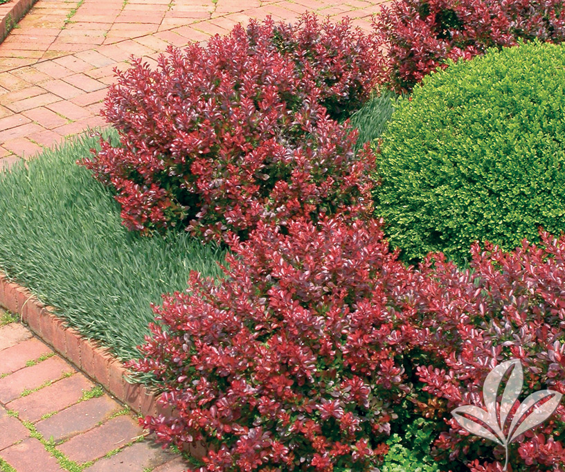 Berberis Thunbergii Atropurpurea Crimson Pygmy BARBERRY crimson pygmy...