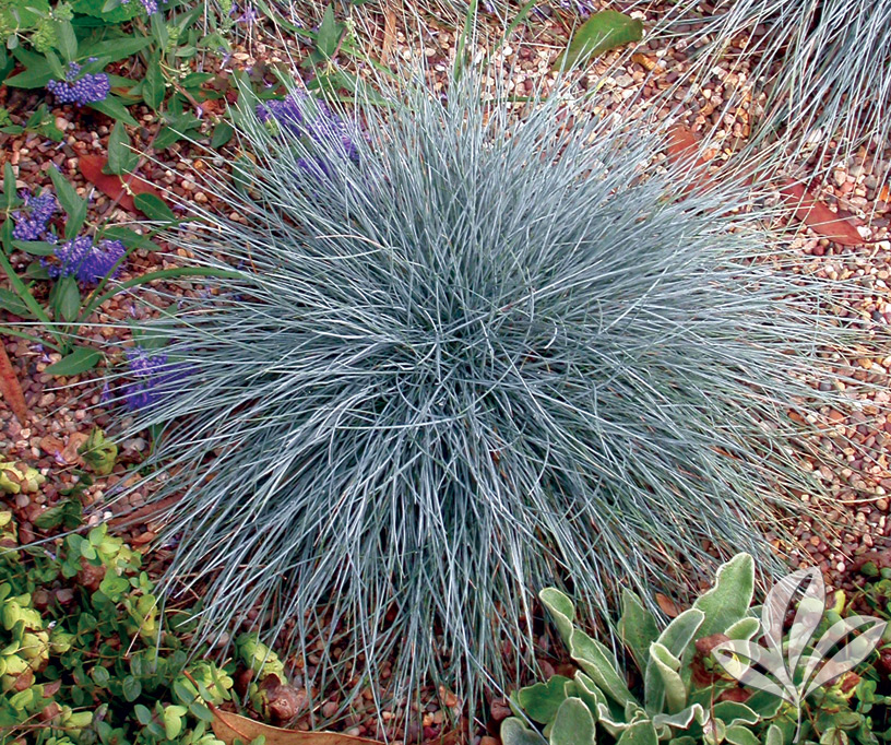 Ornamental grass archives covingtons for Tall ornamental grasses that grow in shade