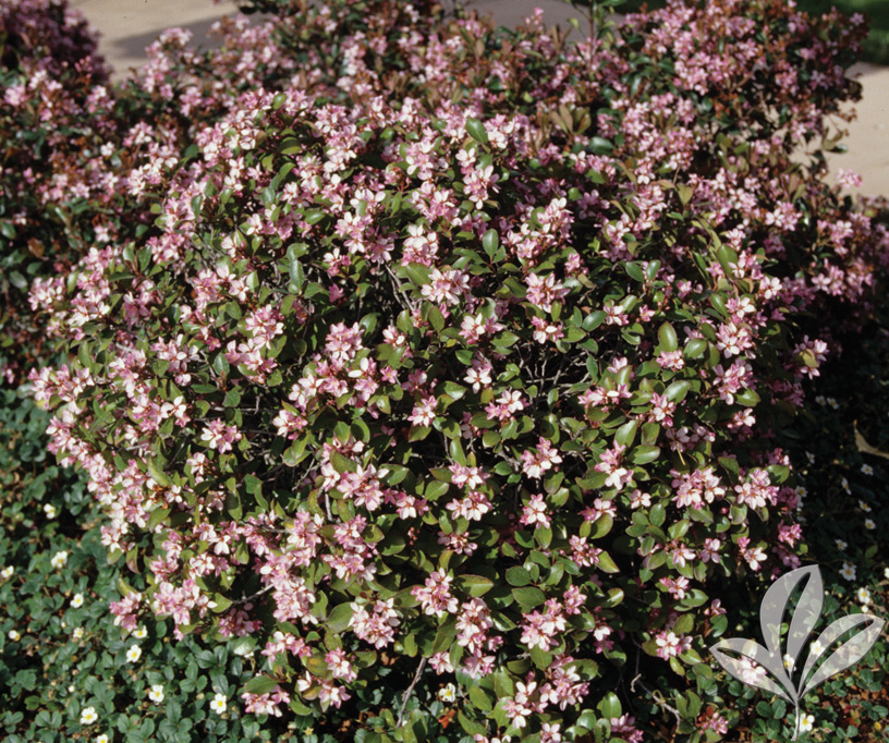 Abelia Edward Goucher Covingtons