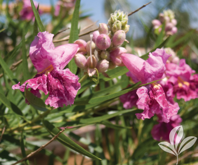 Plant Of The Week Bubba Desert Willow Covingtons