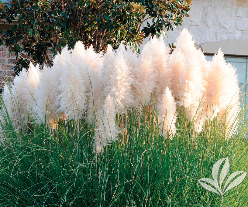 Plant of the week ivory feathers dwarf pampas grass for Ornamental grass with white plumes