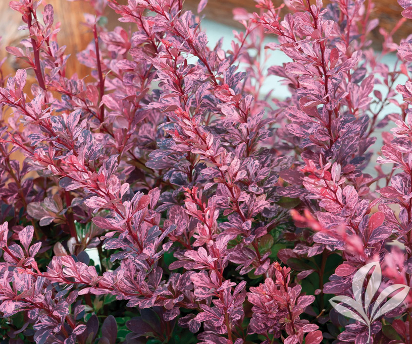 Barberry Rosy Glow Covingtons