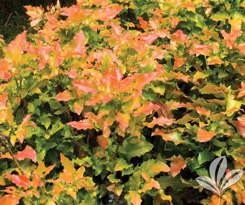 Mahonia Orangee Flame Covingtons