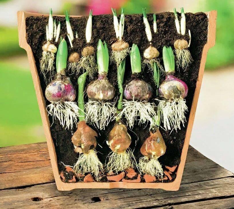 Посадите луковицы цветов в своем саду или на балконе в неско.