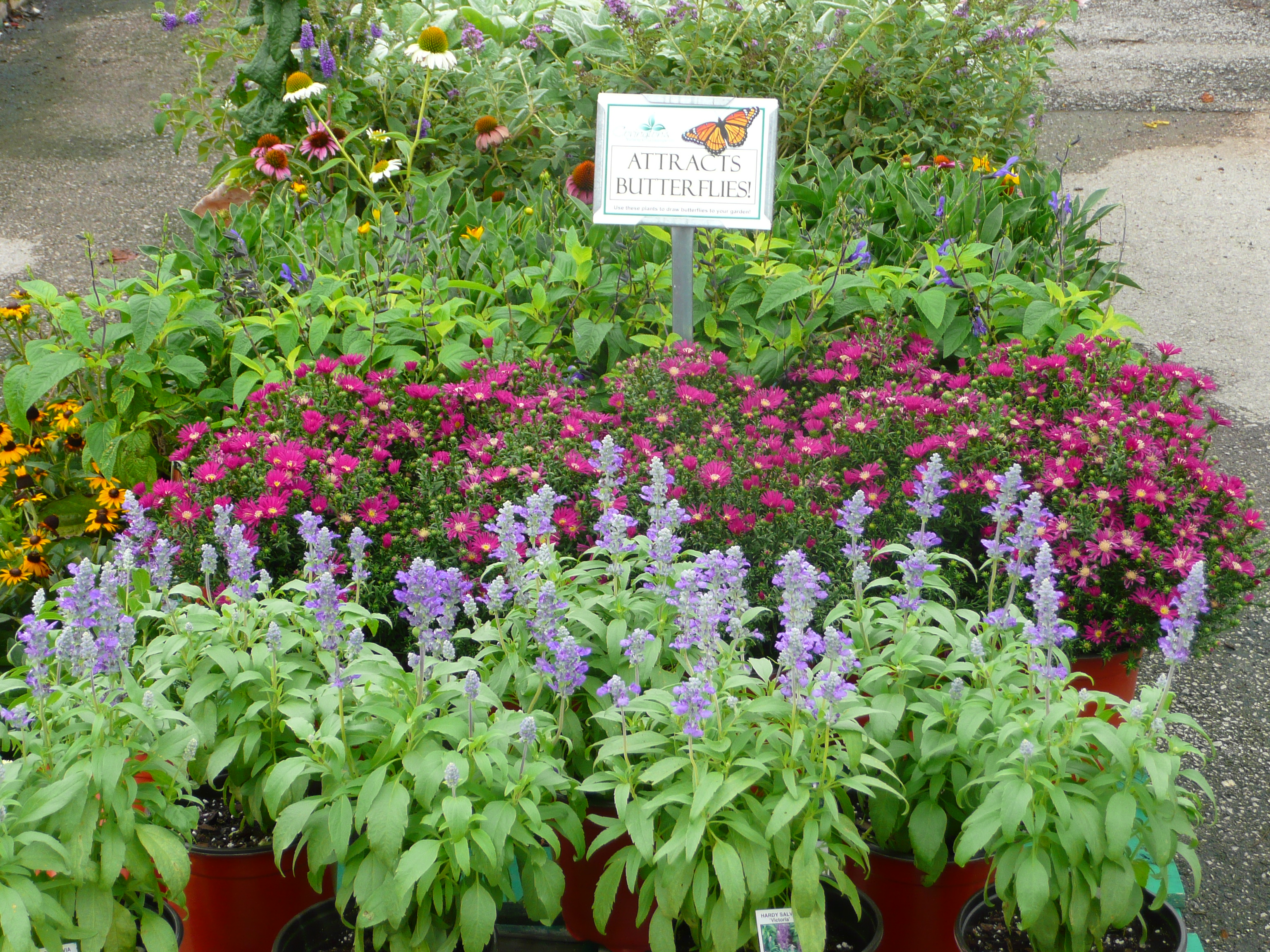 Gardening With Texas Tough Perennials Covingtons