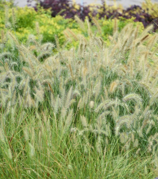 Plant of the week dwarf hameln grass covingtons for Ornamental grass that looks like wheat