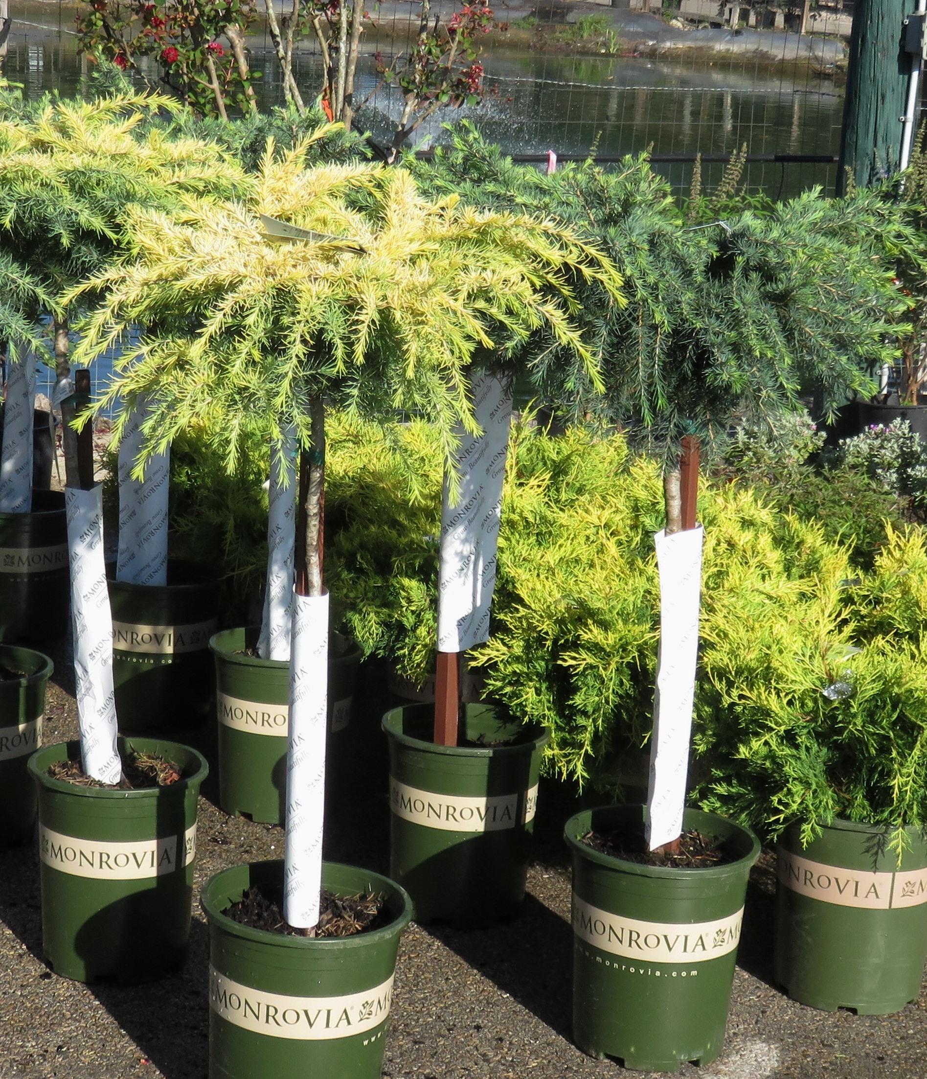 Plant Of The Week U2013 Feelinu0027 Sunny U0026 Feelinu0027 Blue Patio Trees
