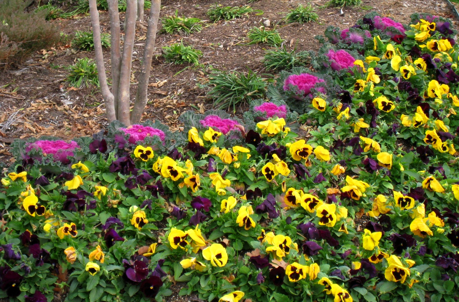 Ask Burton Q Im New To The Area And Ive Heard That Pansies Are