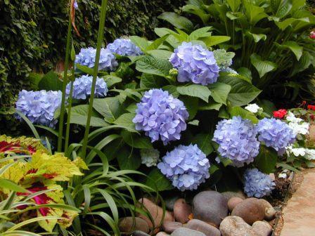 Plant Of The Week Endless Summer Hydrangeas