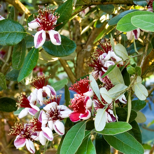 L'Rissa's Plant of the Week-Bambina Pineapple Guava - Covingtons