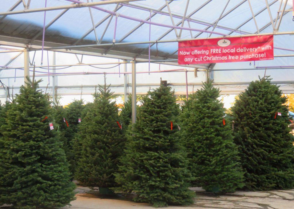 Fresh Christmas Trees & Greenery Are Here