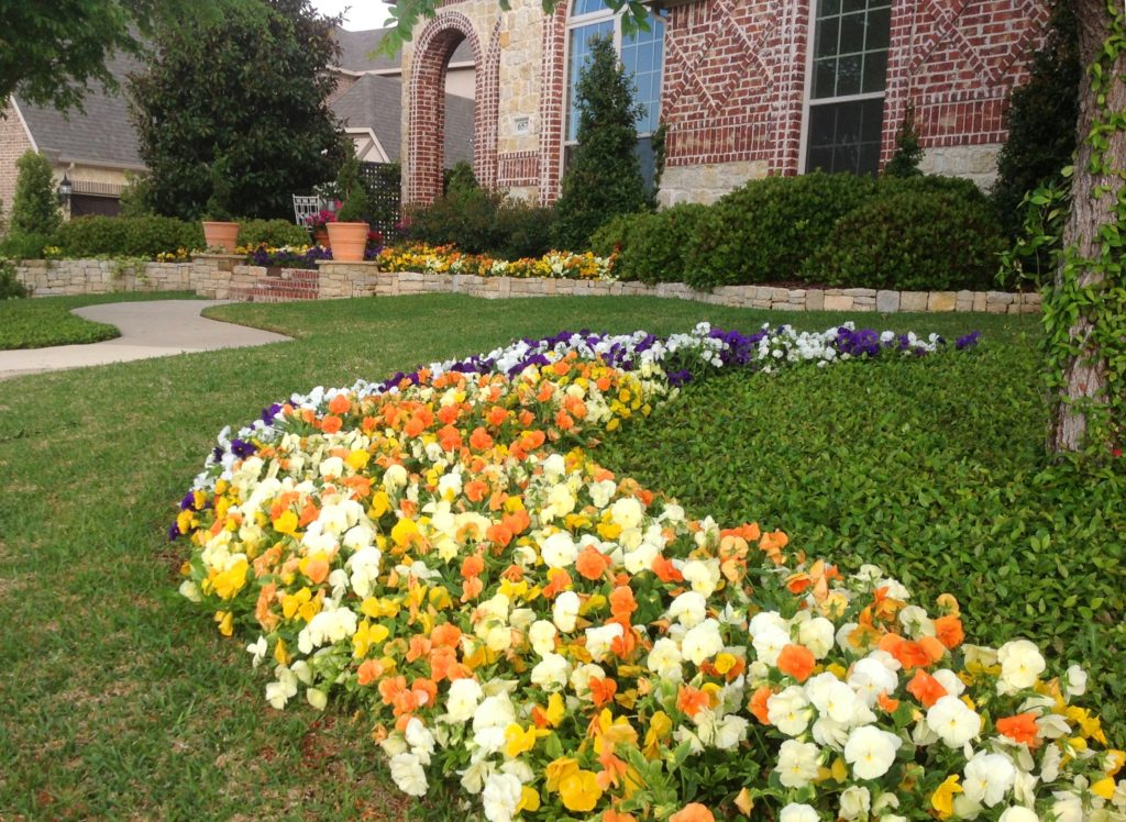 Fall And Winter Color For North Texas, Fall Bedding Plants Texas