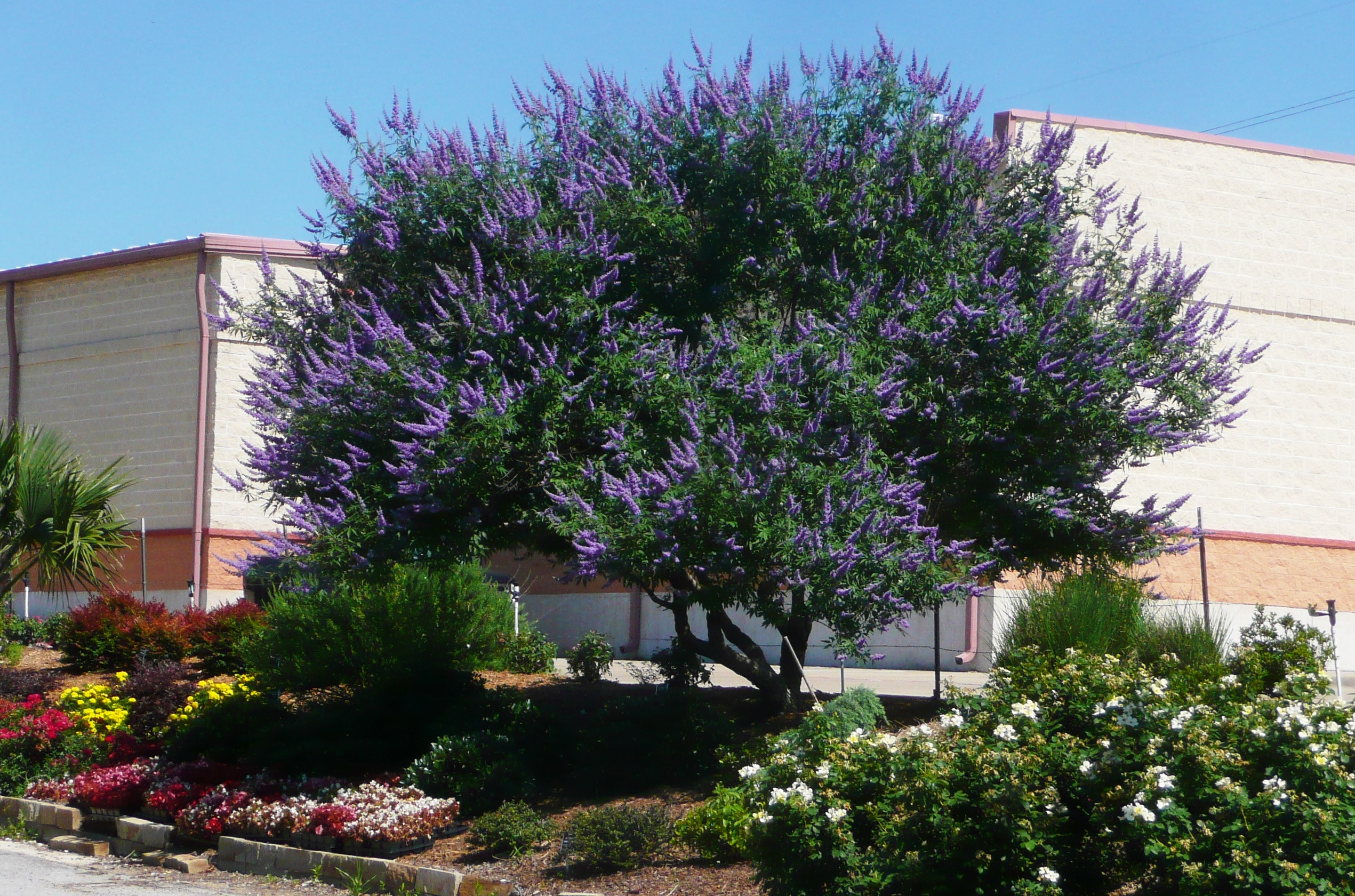 Top Ten Tried True Ornamental Trees Shrubs For North Texas