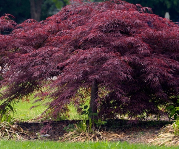 Japanese Maples For Dramatic Impact Covingtons