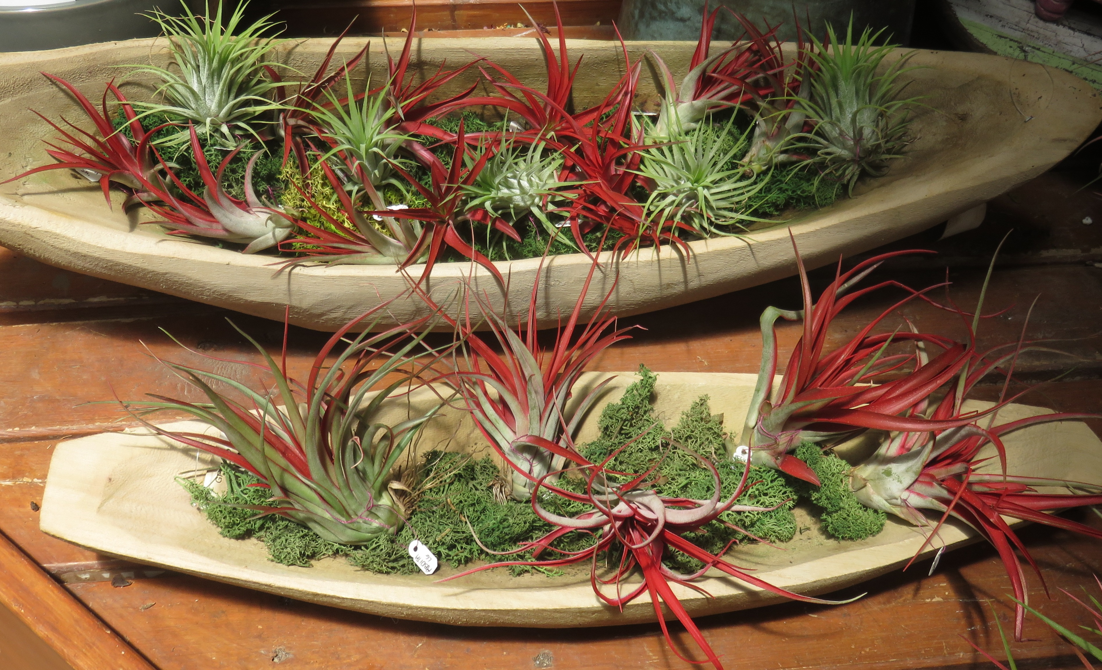 Exotic Colorful New Air Plants Are
