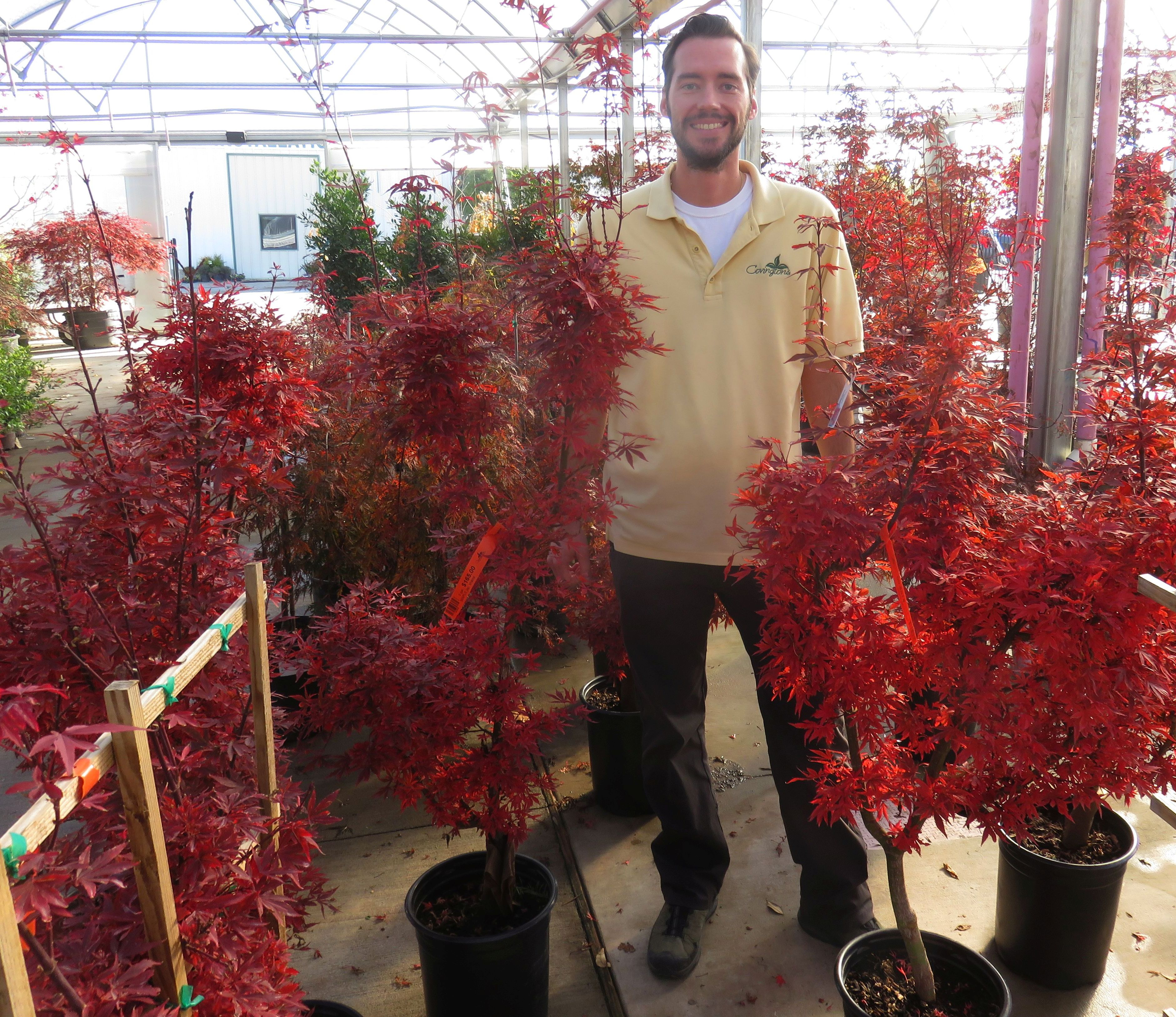 Tommy S Plant Pick Of The Week Shaina Japanese Maple Covingtons